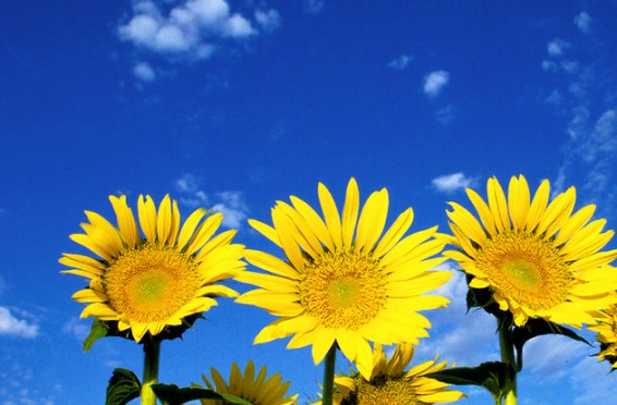 zonnebloemen-zomer